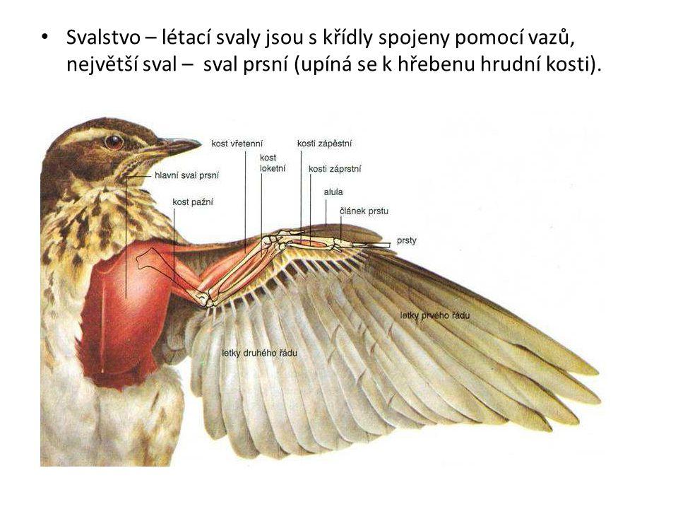 Svalstvo – létací svaly jsou s křídly spojeny pomocí vazů, největší sval – sval prsní (upíná se k hřebenu hrudní kosti).