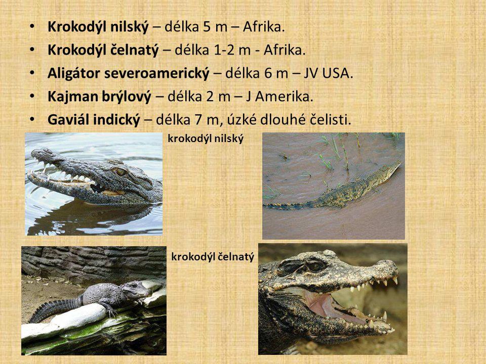 Krokodýl nilský – délka 5 m – Afrika.