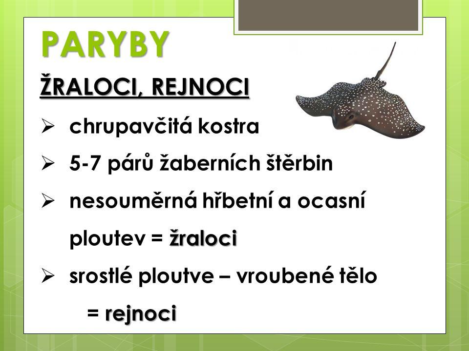 PARYBY ŽRALOCI, REJNOCI chrupavčitá kostra 5-7 párů žaberních štěrbin