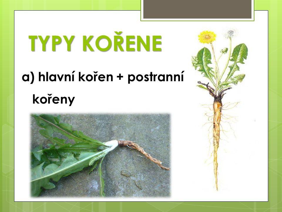 TYPY KOŘENE hlavní kořen + postranní kořeny