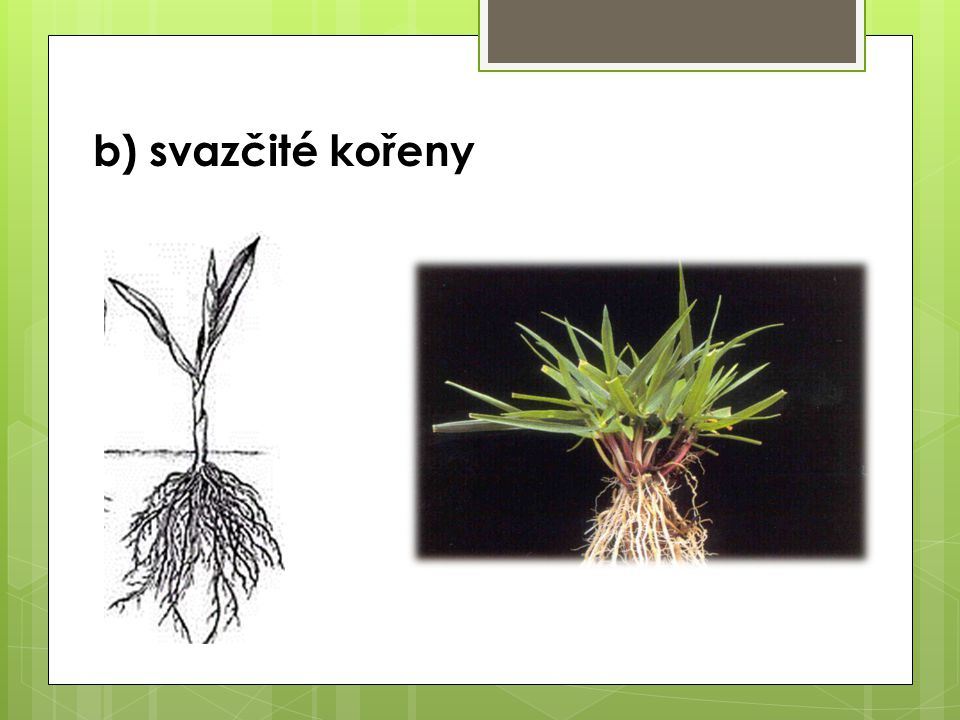 b) svazčité kořeny
