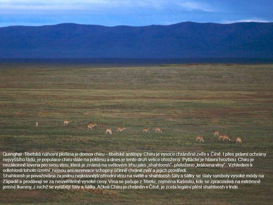 Quinghai -Tibetská náhorní plošina je domov chiru – tibetské antilopy