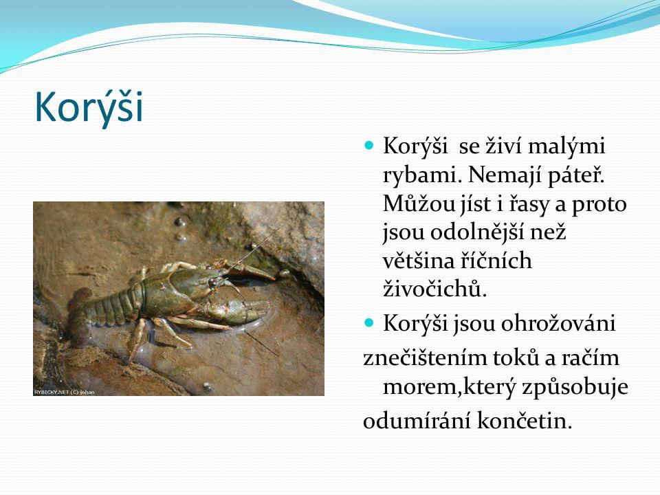 Korýši Korýši se živí malými rybami. Nemají páteř. Můžou jíst i řasy a proto jsou odolnější než většina říčních živočichů.