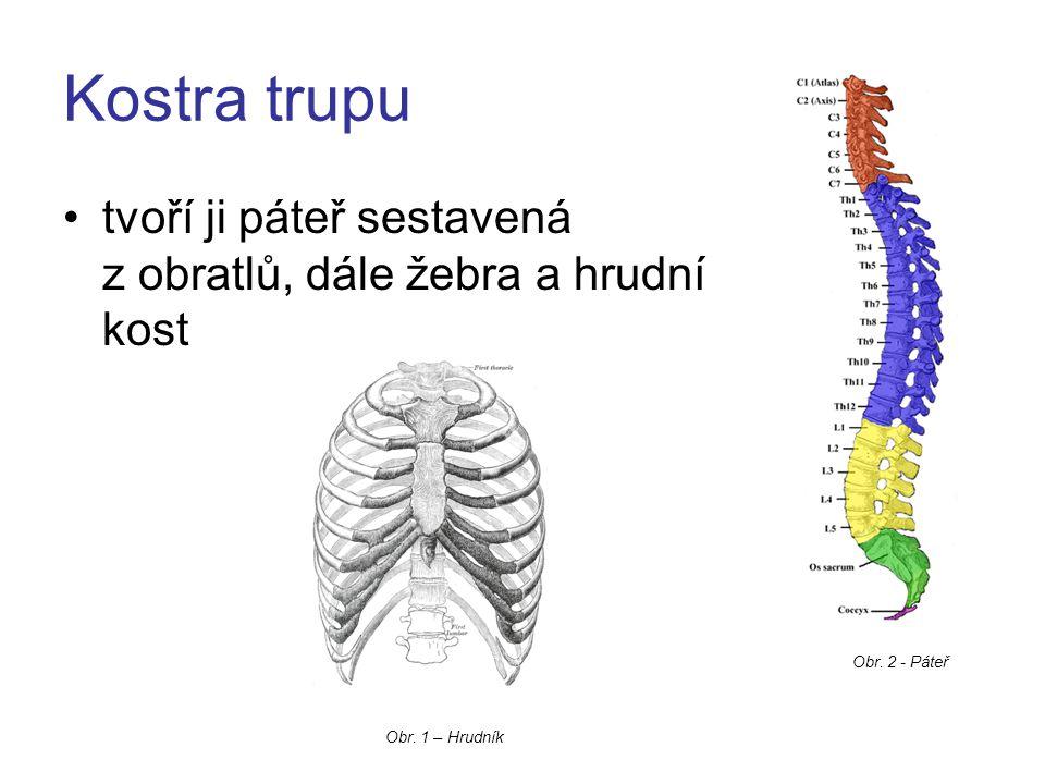 Kostra trupu tvoří ji páteř sestavená z obratlů, dále žebra a hrudní kost.