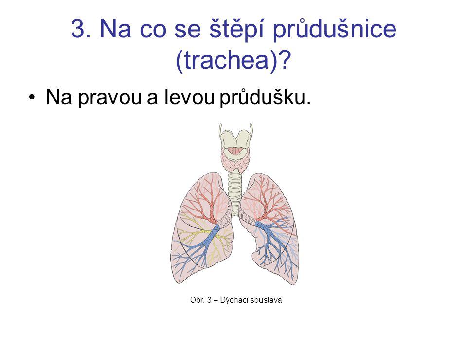 3. Na co se štěpí průdušnice (trachea)