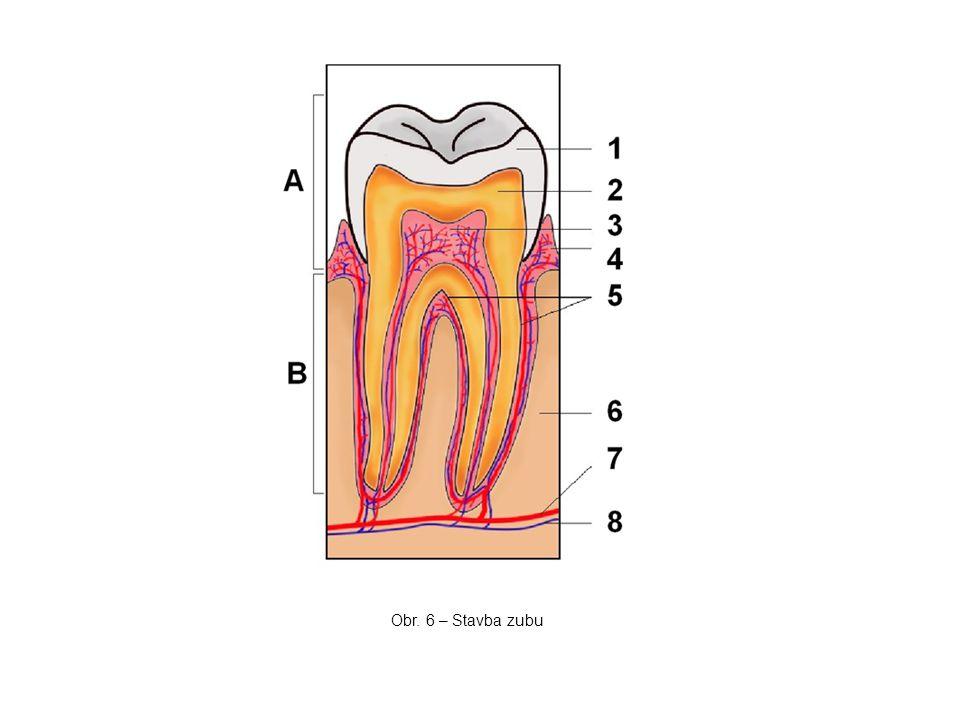 Obr. 6 – Stavba zubu