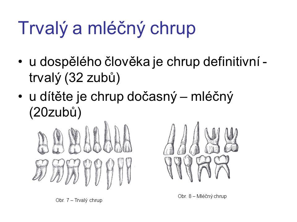 Trvalý a mléčný chrup u dospělého člověka je chrup definitivní - trvalý (32 zubů) u dítěte je chrup dočasný – mléčný (20zubů)