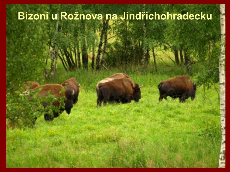 Bizoni u Rožnova na Jindřichohradecku