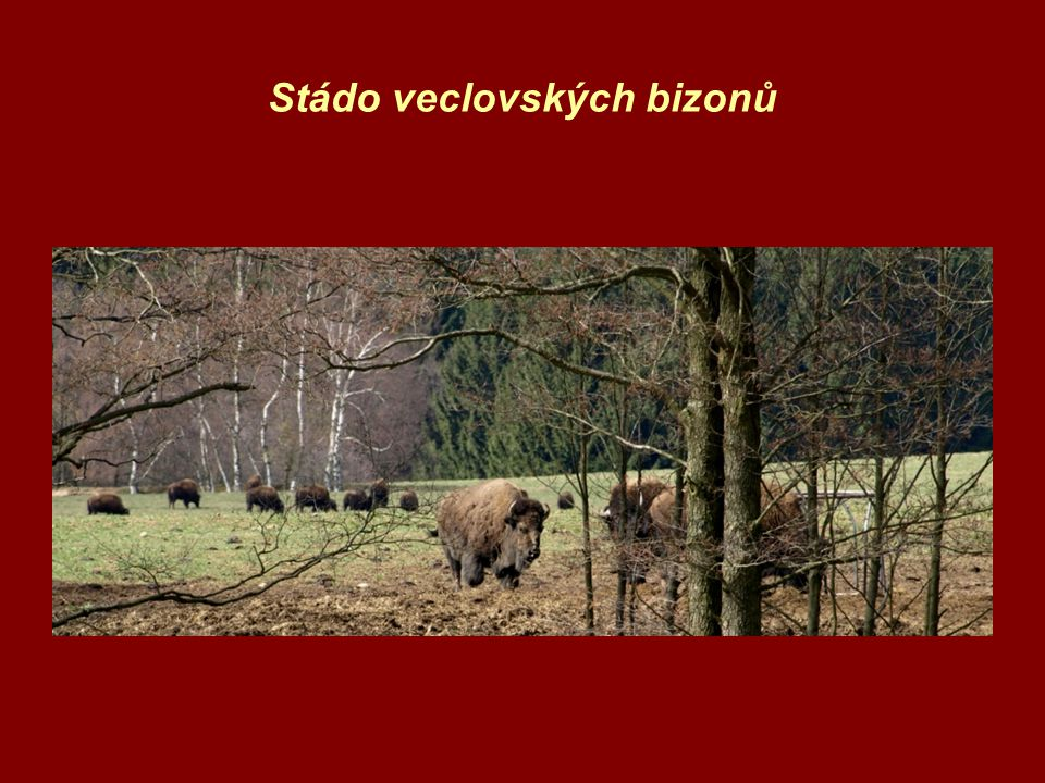 Stádo veclovských bizonů