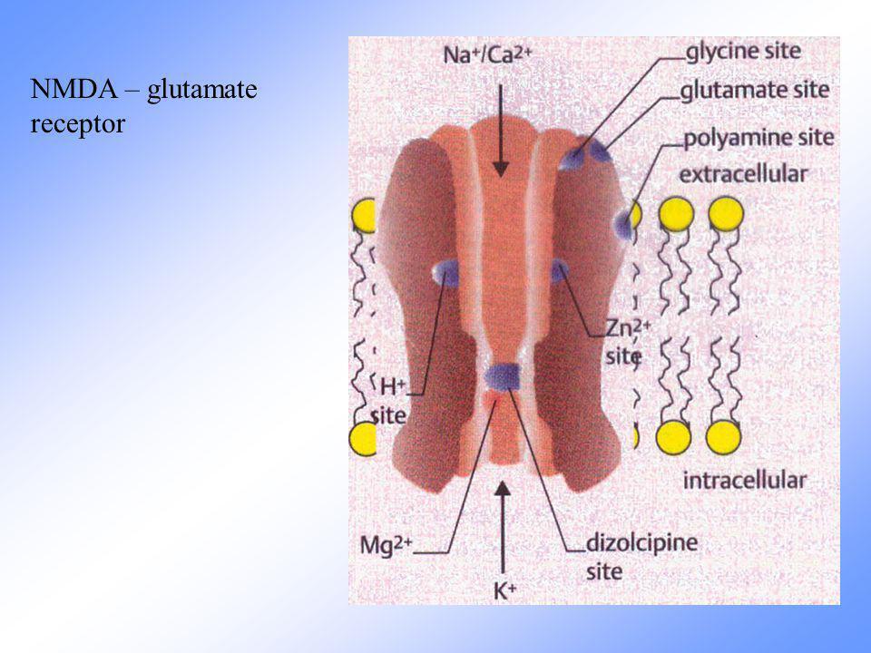 NMDA – glutamate receptor