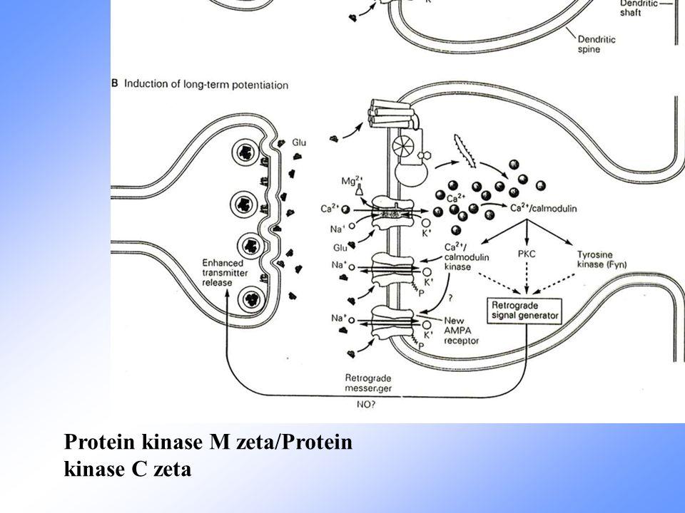 Protein kinase M zeta/Protein kinase C zeta