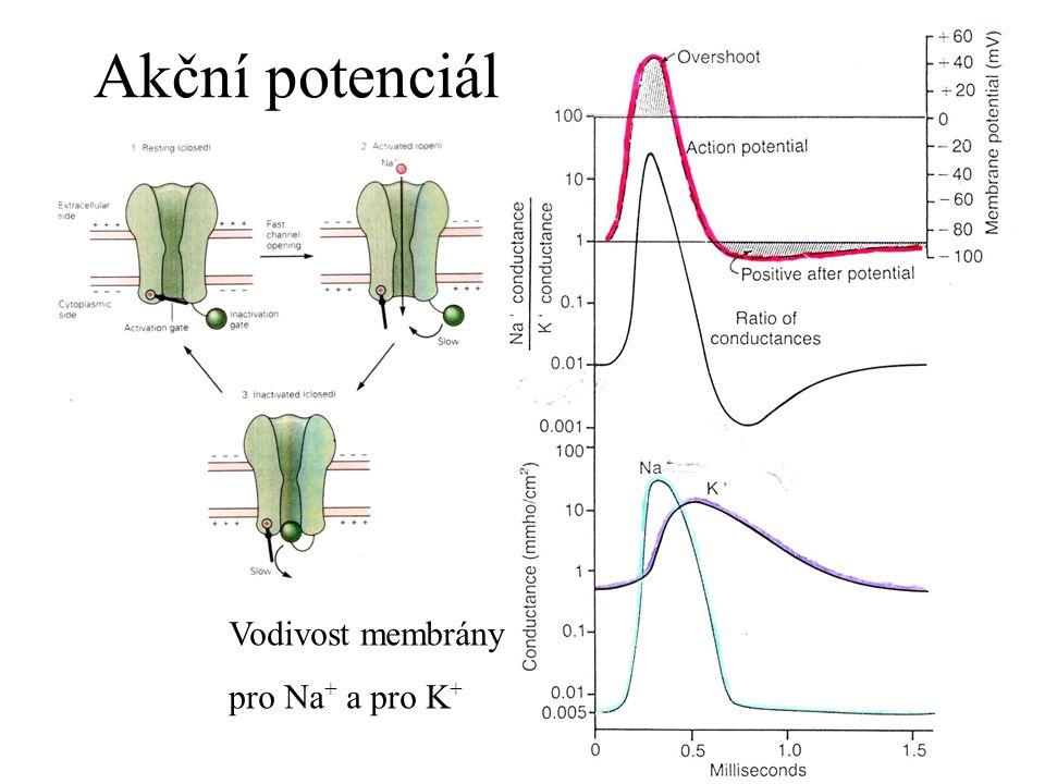 Akční potenciál Vodivost membrány pro Na+ a pro K+