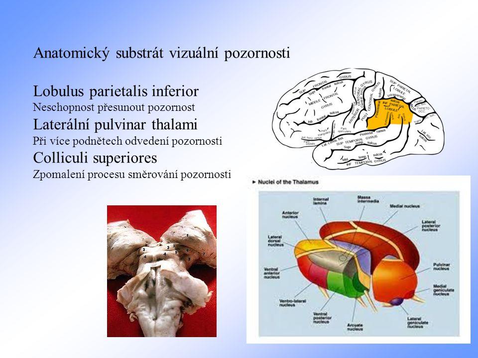 Anatomický substrát vizuální pozornosti Lobulus parietalis inferior