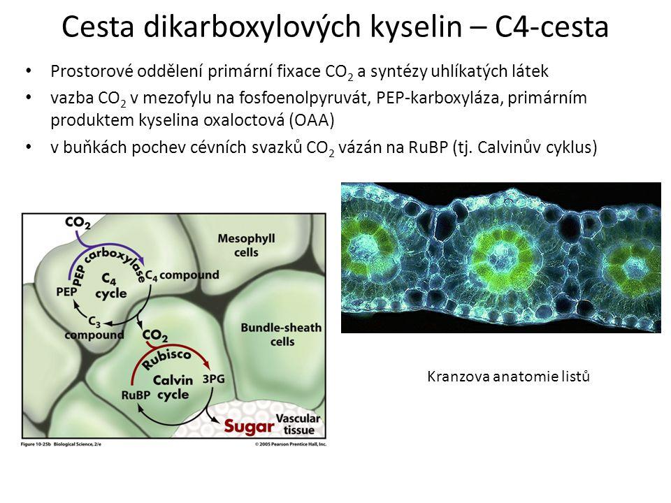 Cesta dikarboxylových kyselin – C4-cesta