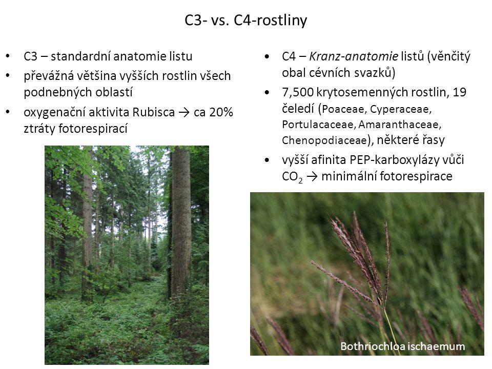C3- vs. C4-rostliny C3 – standardní anatomie listu