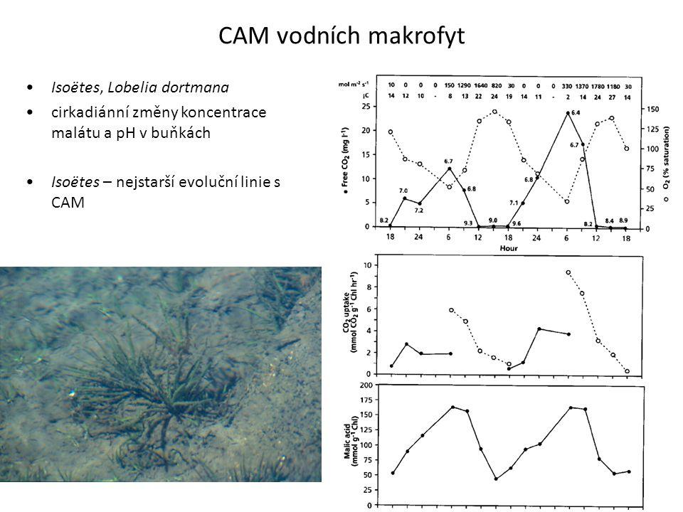 CAM vodních makrofyt Isoëtes, Lobelia dortmana