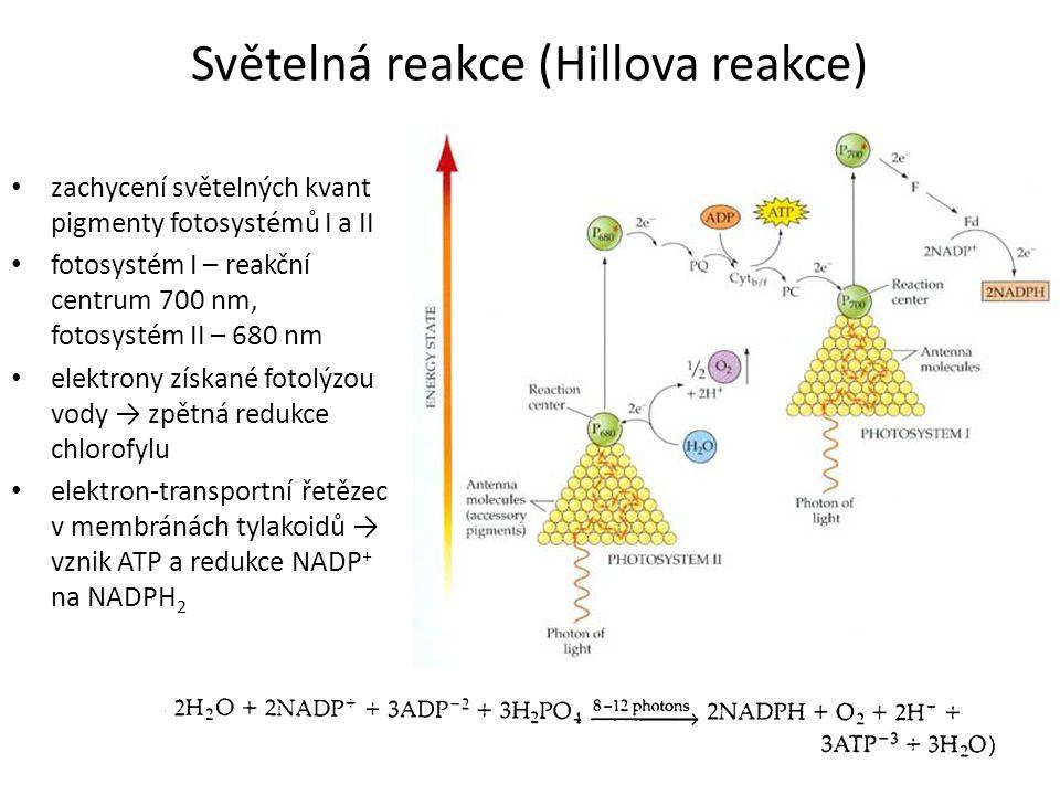 Světelná reakce (Hillova reakce)