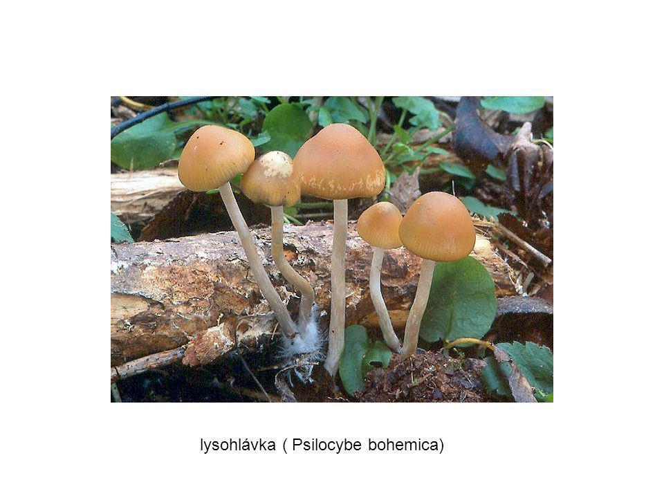 lysohlávka ( Psilocybe bohemica)