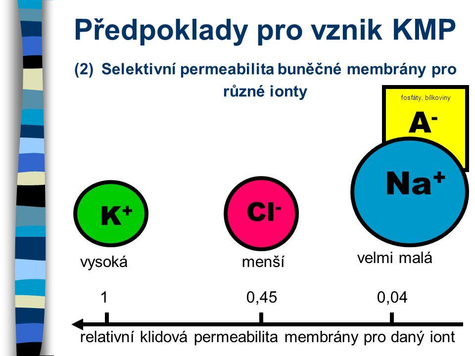 Předpoklady pro vznik KMP (2) Selektivní permeabilita buněčné membrány pro různé ionty