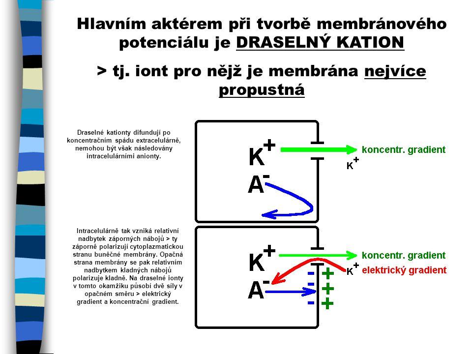 Hlavním aktérem při tvorbě membránového potenciálu je DRASELNÝ KATION