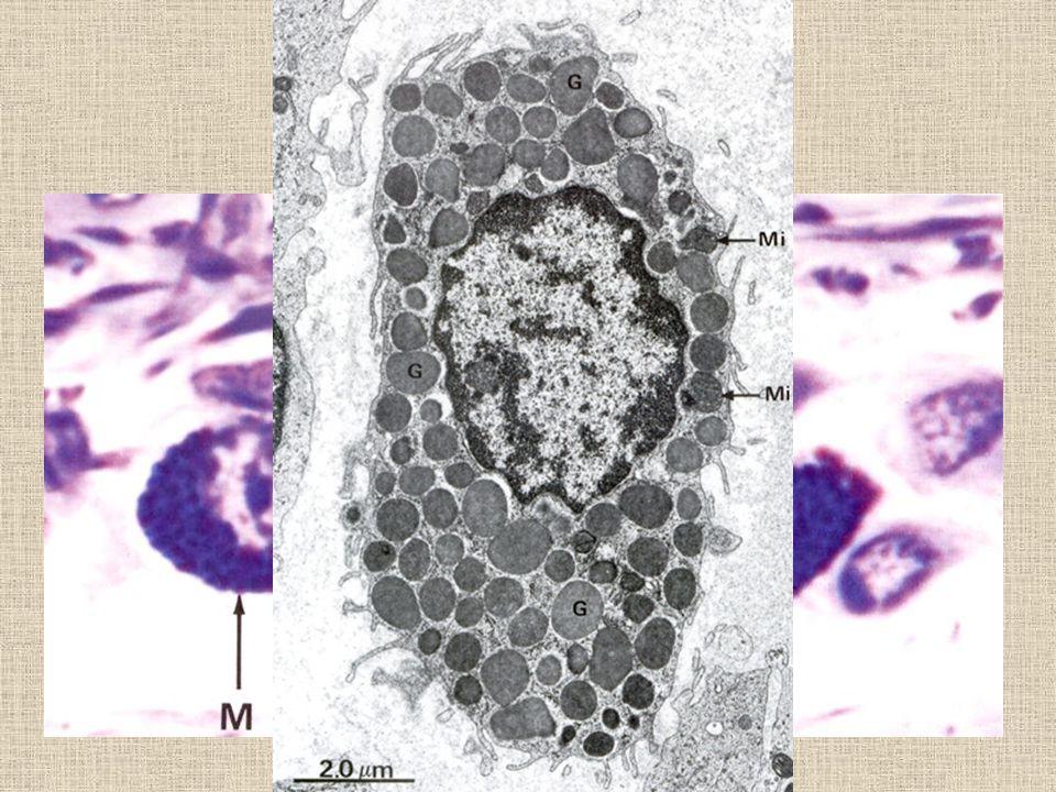 Žírné buňky oválná bb. 20-30 um velká, žije 8-18 dní
