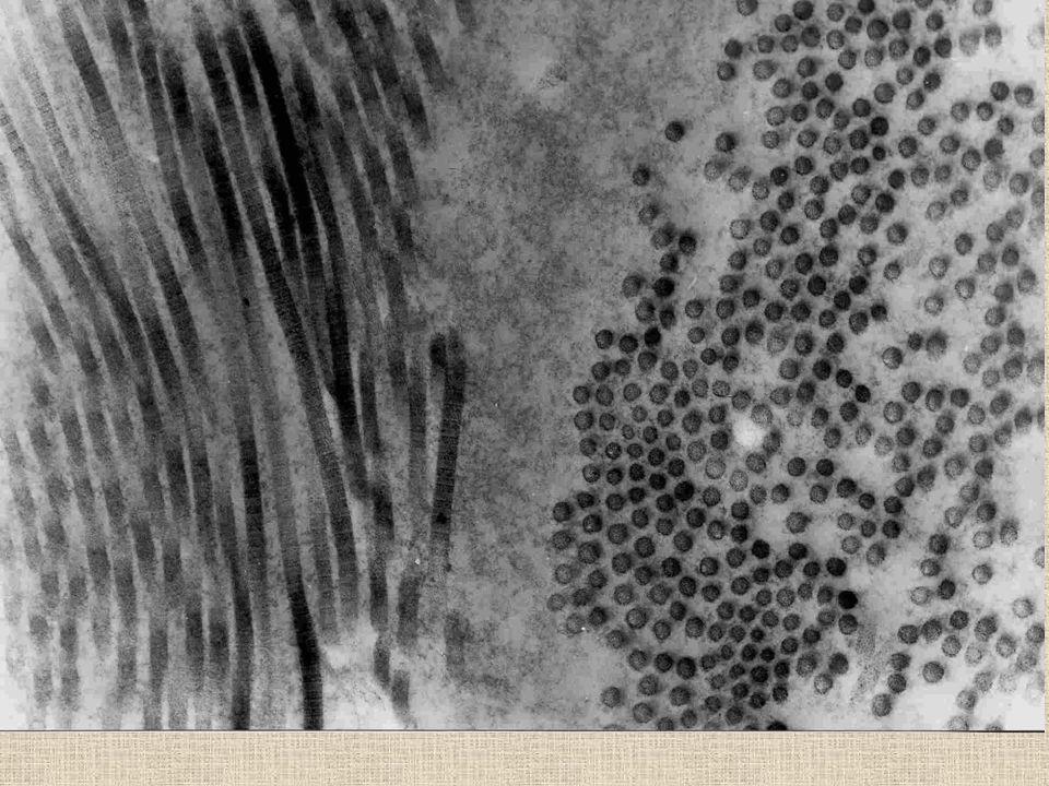 Kolagen tropokolagen - spirálovité polyproteiny