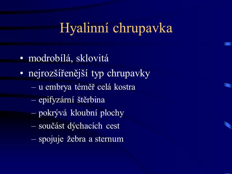 Hyalinní chrupavka modrobílá, sklovitá nejrozšířenější typ chrupavky