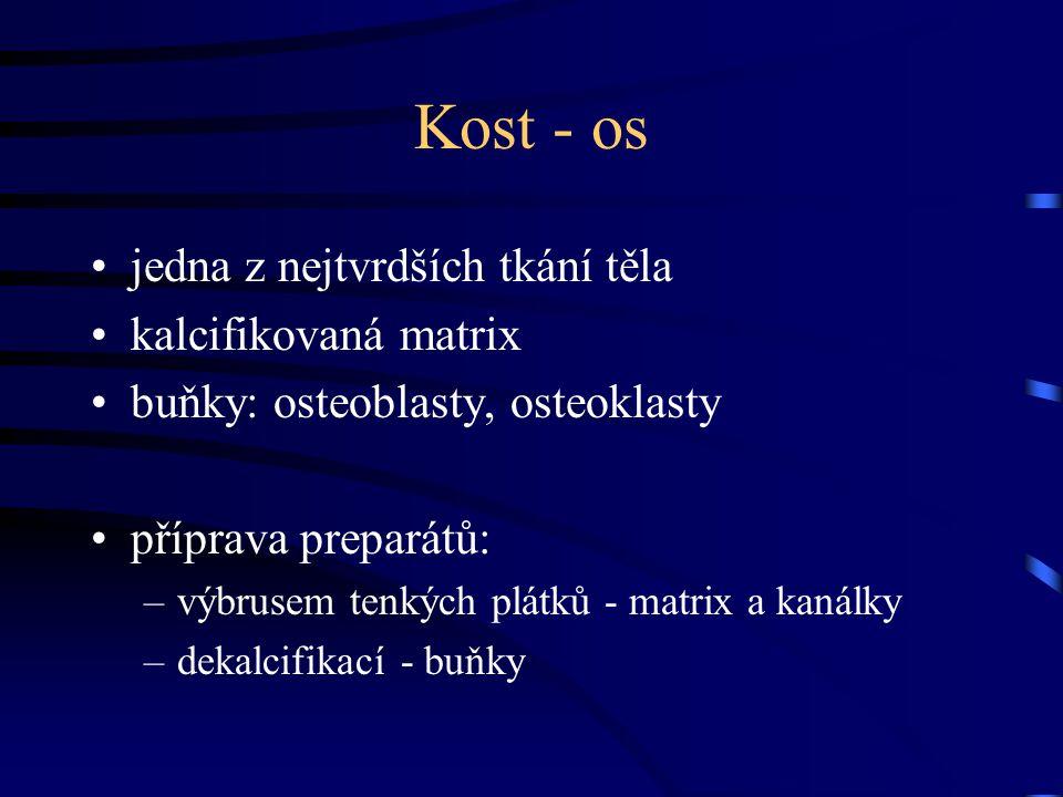 Kost - os jedna z nejtvrdších tkání těla kalcifikovaná matrix