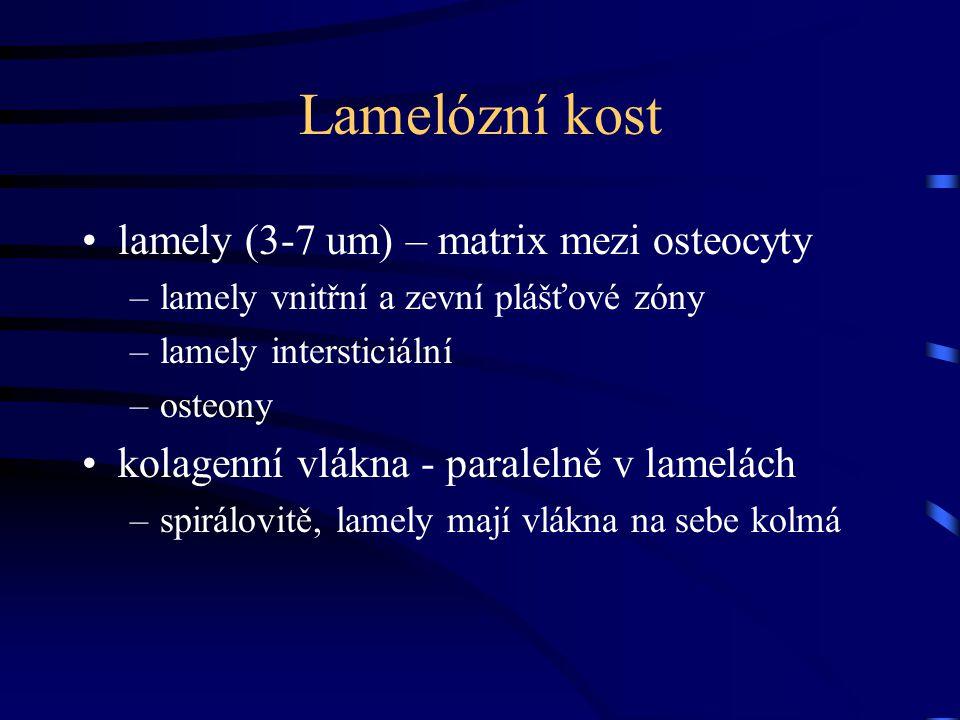 Lamelózní kost lamely (3-7 um) – matrix mezi osteocyty
