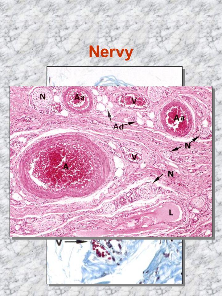 Nervy nervová vlákna spojená ve svazky vazivové obaly: epineurium