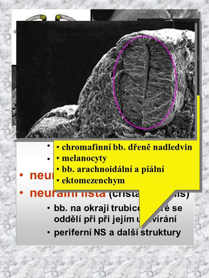 Vývoj původ: ektoderm indukce notochordem neurální ploténka