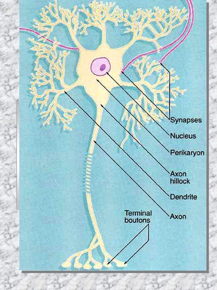 Neurony podle délky axonu: perikaryon (buněčné tělo)