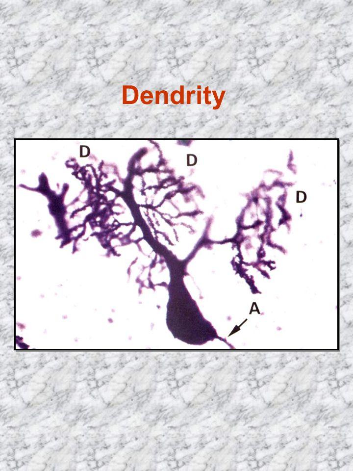 Dendrity vedou vzruch k perikaryu 1 neuron má až sta tisíce kontaktů
