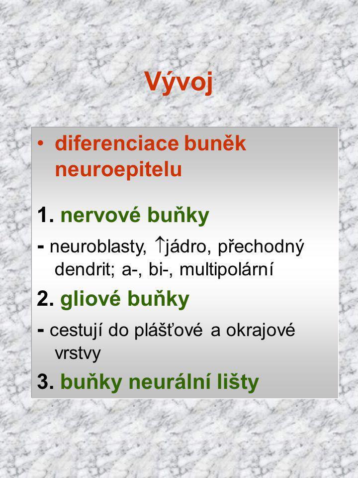 Vývoj diferenciace buněk neuroepitelu 1. nervové buňky