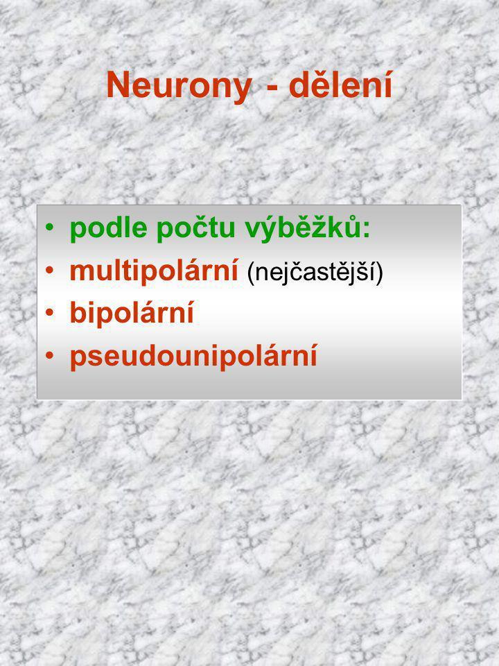 Neurony - dělení podle počtu výběžků: multipolární (nejčastější)