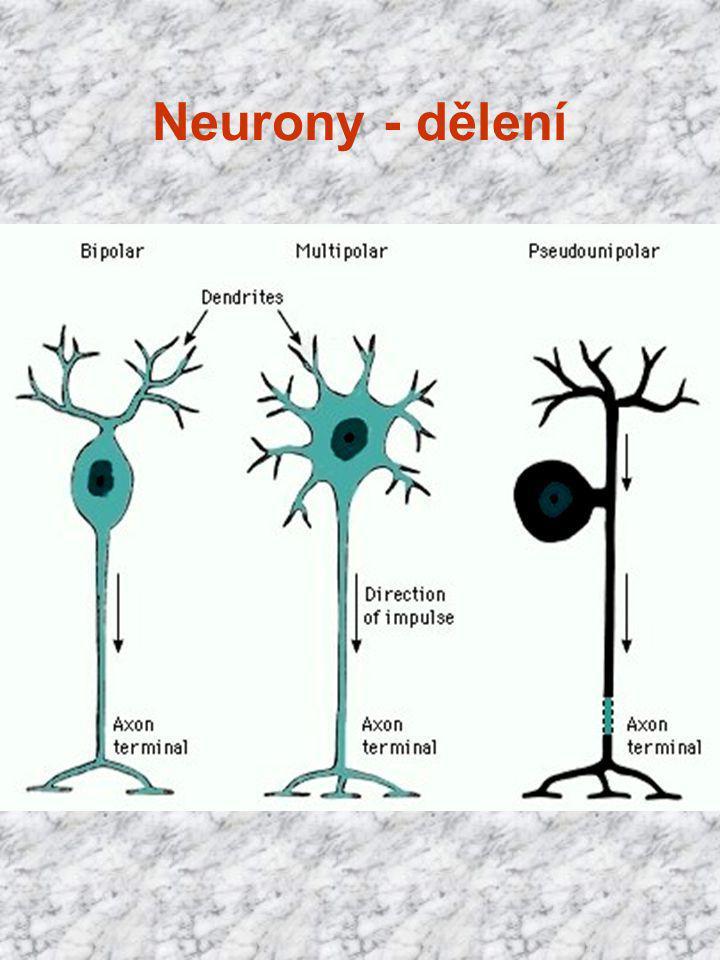 Neurony - dělení