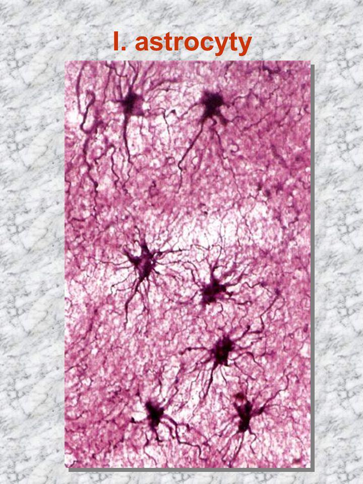 I. astrocyty Cajal x 400