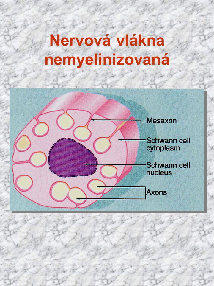 Nervová vlákna nemyelinizovaná