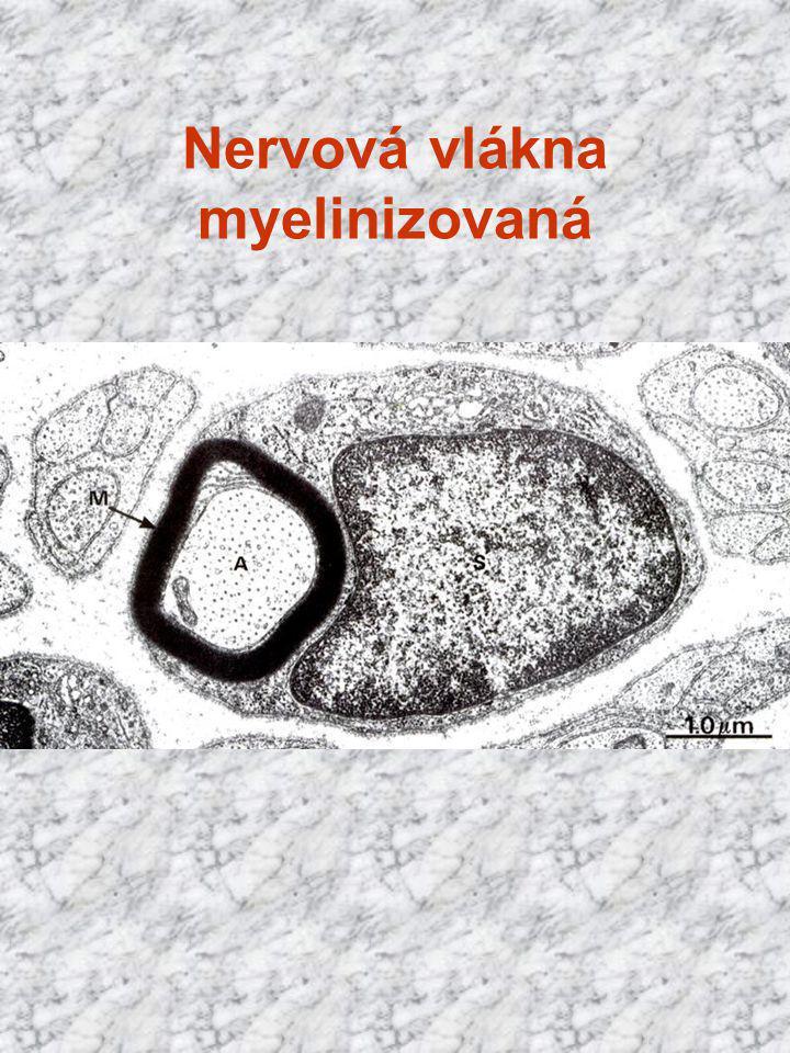 Nervová vlákna myelinizovaná
