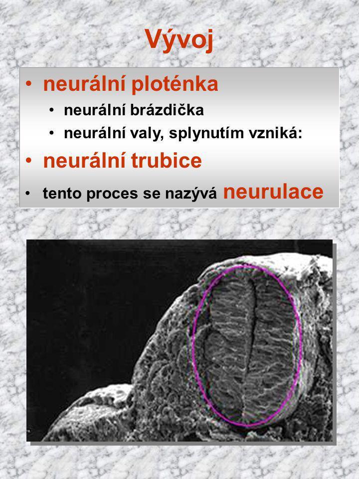 Vývoj neurální ploténka neurální trubice neurální brázdička