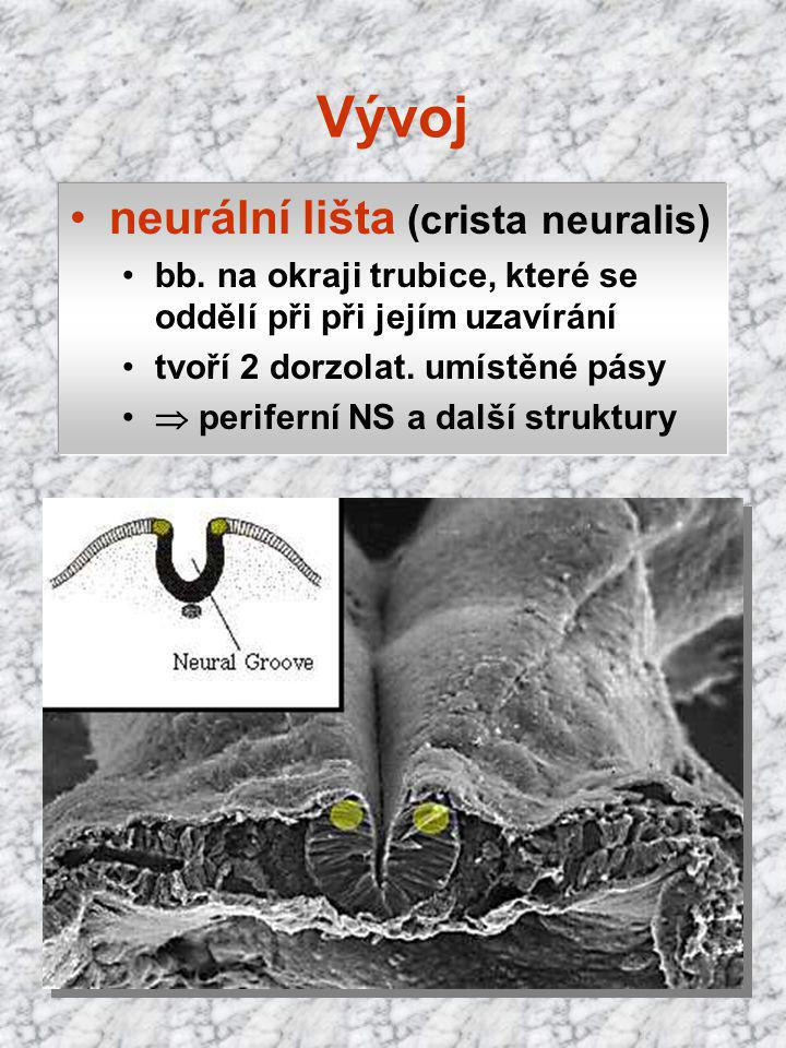 Vývoj neurální lišta (crista neuralis)