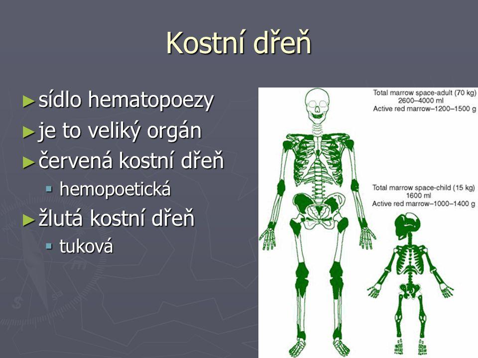 Kostní dřeň sídlo hematopoezy je to veliký orgán červená kostní dřeň