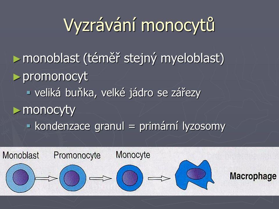 Vyzrávání monocytů monoblast (téměř stejný myeloblast) promonocyt