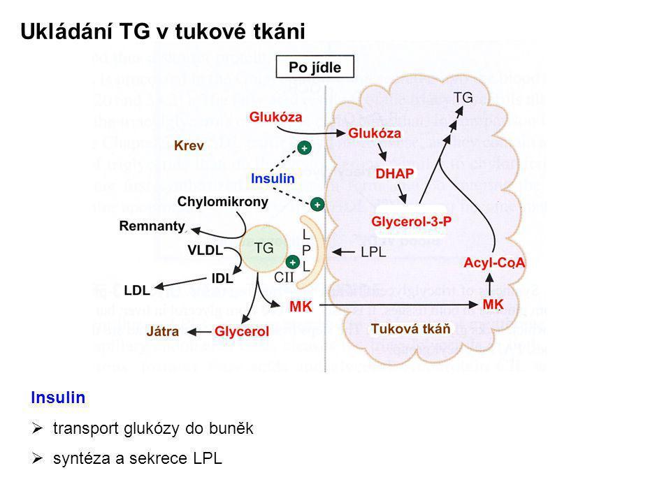 Ukládání TG v tukové tkáni