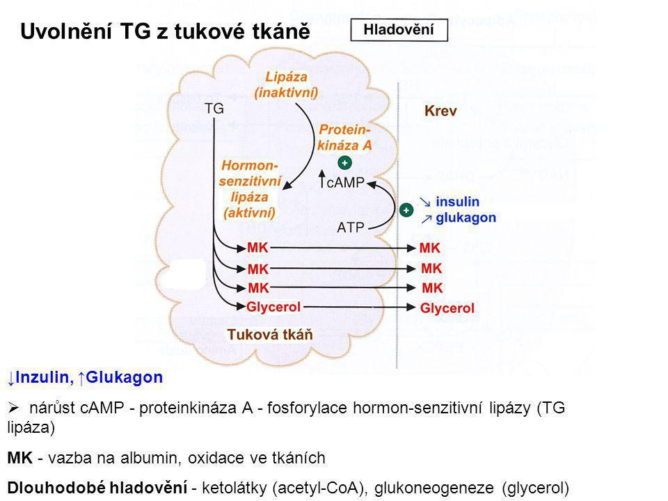 Uvolnění TG z tukové tkáně