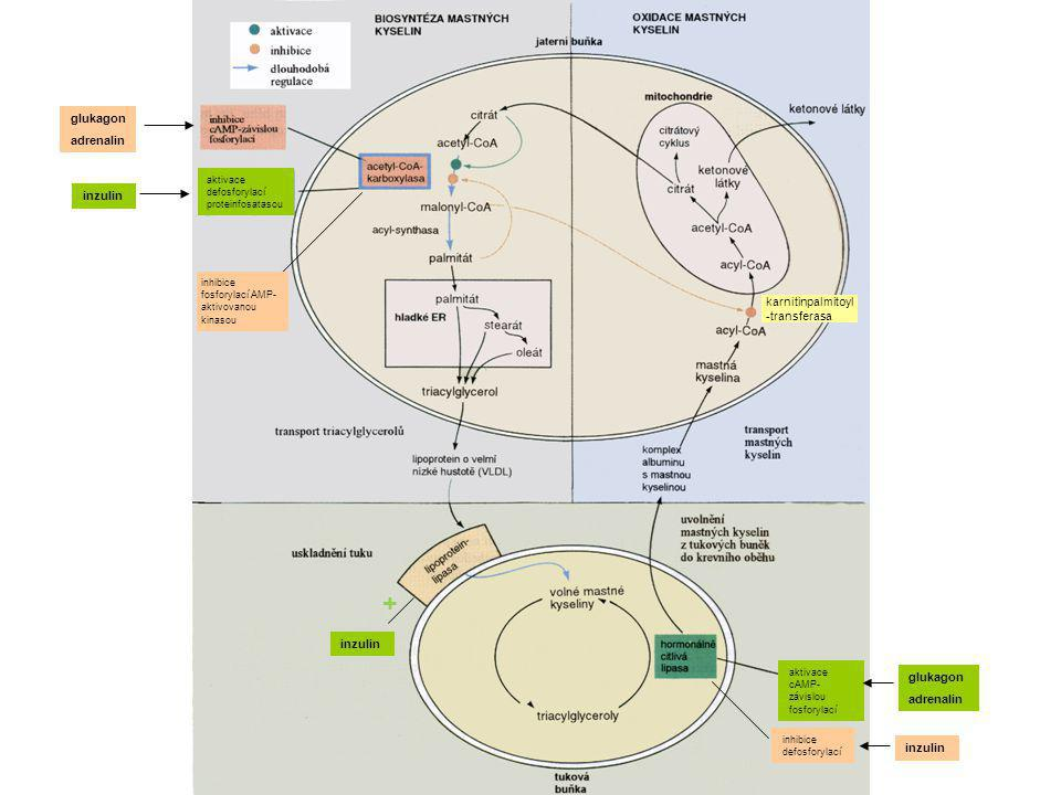 + glukagon adrenalin inzulin karnitinpalmitoyl-transferasa inzulin