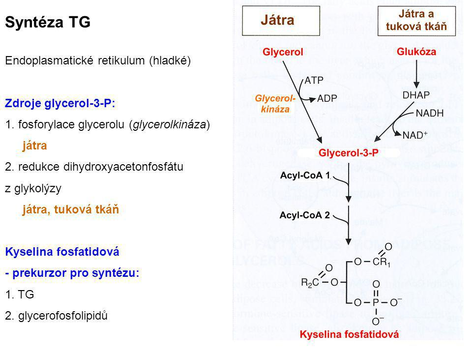 Syntéza TG Endoplasmatické retikulum (hladké) Zdroje glycerol-3-P: