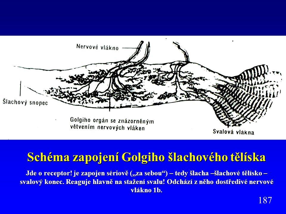 Schéma zapojení Golgiho šlachového tělíska