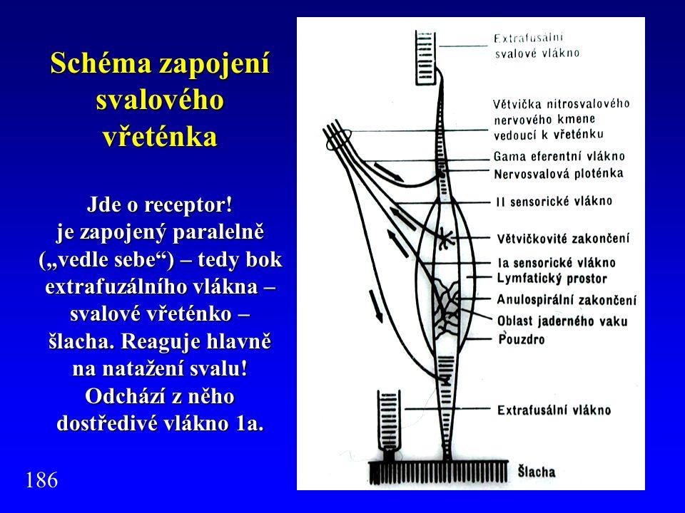 Schéma zapojení svalového vřeténka