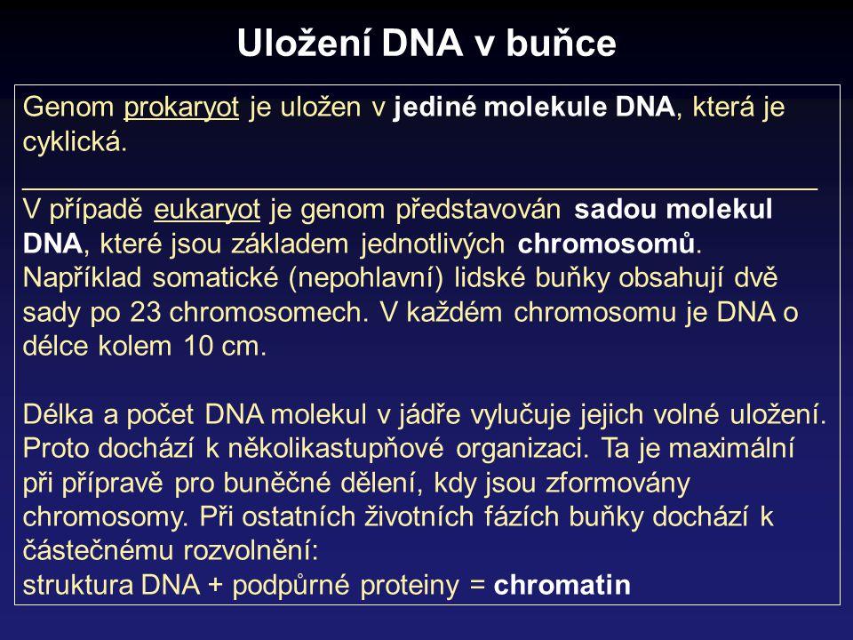 Uložení DNA v buňce Genom prokaryot je uložen v jediné molekule DNA, která je cyklická. __________________________________________________.